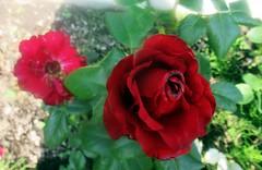 Розы (lvv1937) Tags: сад цветы розы afeastformyeyespublicgroup inexplore flickrunofficial flickrinfullcolor