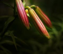 Lily Buds (Dave Linscheid) Tags: flower summer smartphotoeditor butterfield watonwancounty mn minnesota usa