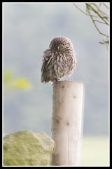 IMG_0019 Little Owl (Scotchjohnnie) Tags: littleowl athenenoctua owl ornithology bird birdphotography birdwatching ukbirds birdofprey wildlife wildlifephotography wildanimal wildandfree nature naturephotography canon canoneos caono7dmkii canonef100400f4556lisusm scotchjohnnie