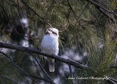 Birds (Anna Calvert Photography) Tags: australia canberra adventure landscape outdoors scenery kookaburra laughingkookaburra trees nature birds