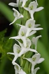 Platanthera dilatata var. dilatata (Platantheraphile) Tags: platanthera orchidaceae plants angiosperms us vermont