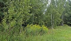 В лесу (lvv1937) Tags: берёзы цветы травы деревья breathtakinglandscapesbwandcolor inexplore