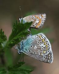 Polyommatus ikarus in love (agnieszka.a.morawska) Tags: modraszekikar modraszek polyommatusicarus helios helios44m motyl butterfly makro macro bokehlicious bkhq