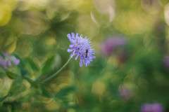 Vintage lens photography (steffos1986) Tags: flora flower flowers closeup macro bokeh beautiful fly insect samsungnx1100 autorevuenon50mmf14 vintage manualfocus mirrorless summer exposure expression explore fineart art green yellow purple blue norway europe scandinavia countryside hike trail