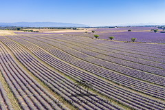 Birds eye view (icemanphotos) Tags: aromatherapy earth fields lines petals rows wide cosmetic floral fly fragrance fragrant french harvested lavender perfume perspective provence purple sunrise sunset violet agricultural air amazing aroma beauty blooming blue cloud color colorful crop environment farming field flower green ground harvest herb herbal land meadow sky summer treatment dji mavicpro2 drone