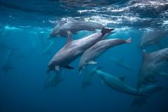 Bottlenose dolphins hunting (malcolm_wade) Tags: bottlenose dolphin dolphins pod nature wildlife wild planet earth sea ocean bali indonesia nusa lembongan penida mammal mammals cetacea group underwater diving diver scuba snorkeling