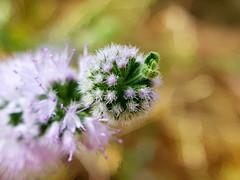 AMAZING SMALL FLOWER (Pedro Muñoz Sánchez) Tags: macro macrofotografía macrophotography flower flor amall amazing