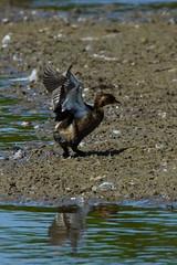 DSC06219 - Juvenile Little Grebe (steve R J) Tags: juvenile little grebe fingringhoe wick ewt reserve colchester essex birds british