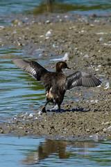 DSC06215 - Juvenile Little Grebe (steve R J) Tags: juvenile little grebe fingringhoe wick ewt reserve colchester essex birds british