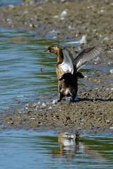 DSC06191 - Juvenile Little Grebe (steve R J) Tags: juvenile little grebe fingringhoe wick ewt reserve colchester essex birds british