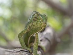 CAMALEON (BLAMANTI) Tags: camuflaje camaleon reptiles olympus olympusomd mimetizado verde blamanti hermoso