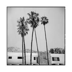 palms, whatelse? • palm springs, ca • 2018 (lem's) Tags: palms springs palmiers midcentury architecture desert california ca rolleiflex t