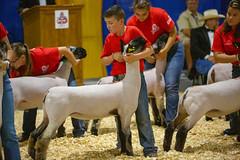 2019 DDA_Delaware State Fair-102 (agriculturede) Tags: delawarestatefair livestockextravaganza animals boy lamb livestock sheep showing youth