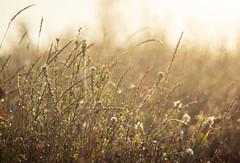 At an early and misty hour (bolex.ua) Tags: morning mist dew flowers field sunlight plants nature backlit helios442 helios44 oldlens утро туман поле цветы