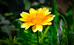 Yellow flower. (denkuznets81) Tags: flower floral garden green yellow bloom blossom macro nature цветы природа макро лето