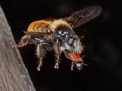 Rolf_Nagel-Fl-2456-Laphria flava + Ampedus balteatus (Insektenflug) Tags: laphriaflava bumblebeerobberfly gelberaubfliege gulvedrovflue gulrovfluga laphria flava bumblebee robberfly gelbe gul vedrovflue rovfluga diptera fliegen fliege fly ampedus balteatus ampedusbalteatus clickbeetle click beetle skovsmælder smælder knäppar fauna schweden sweden sverige flug fliegend flying inflight rovflue wildlife minoltaerokkor75mm erokkor minolta rokkor 75mm envole en vole flight raubfliege asilidae västragötaland västra götaland tranemo ambjörnarp