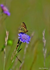 Dark Green Fritillary - Bedfordshire (Alan Woodgate) Tags: fritillary butterfly summer sharpenhoe