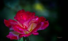 Rosa bicolor (Fotgrafo-robby25) Tags: flora rosas sonyilce7rm3