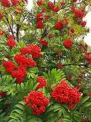 Рябина (msergeevna) Tags: рябина rowan tree nature pihlaja pihlajanmarja luonto