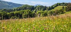 Naturwiese (oblakkurt) Tags: natur wiesen berge blumen niederösterreich mostviertel bäume
