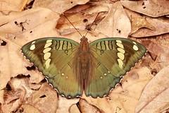 Duke Butterfly (Euthalia cf. sahadeva, Limenitidinae, Nymphalidae) (John Horstman (itchydogimages, SINOBUG)) Tags: insect macro china yunnan itchydogimages sinobug entomology canon butterfly lepidoptera duke nymphalidae limenitidinae green topf25 tumblr fb