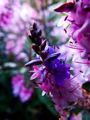 Magenta Blues (martincreates) Tags: flower flora copyright martinmcguire glasgow scotland garden astilbe beautiful beauty botanical blue magenta art artistic creative photography