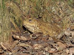 Common Toad (Bufo bufo) (Julian Hodgson) Tags: commontoad bufobufo amphibia anura bufonidae bufo amphibian bramptonwood naturereserve brampton huntingdon cambridgeshire unitedkingdom sonydschx400v