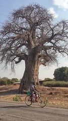 Baobab and bicycle