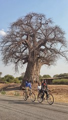 Bicycles and baobab tree