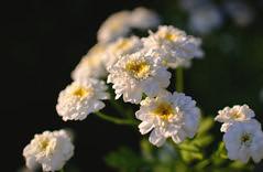 Flowers. (denkuznets81) Tags: flower floral bloom blossom beautiful summer garden green цветы цветок природа макро nature macro