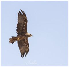 Aguila (javiblue25) Tags: naturaleza aves rapaces naturales nature natura d500 nikond500 wildlife naturephotography naturephotographer aragã³n pirineos pirineosaragoneses eagle aguila lugo espaã±a aragón