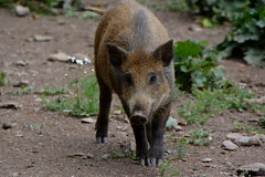 DSC_9241 (Norbert van de Wijdeven) Tags: wildschwein