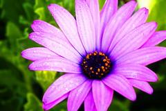 Daisy après la pluie (Christian Chene Tahiti) Tags: canon 6d auckland rose pourpre purple plante extérieur goutte gouttedepluie rain perledeau marguerite daisy flower nouvellezélande newzealand macro bokeh closeup nature jardin violet mauve pétale