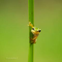 Rainette (http://www.jeromlphotos.fr) Tags: rainette grenouille verte nature brennes carré canon eos 5dmarkii 100mm macro macrophotographie natural naturel