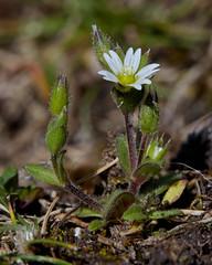 Cerastium diffusum (Sea Mouse-ear) (Hugh Knott) Tags: cerastiumdiffusum seamouseear flora flowers anglesey wales uk caryophyllaceae macro macroflowerlovers