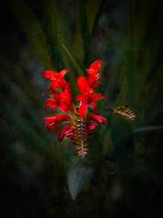 Crocosmia Lucifer (judy dean) Tags: judydean 2019 garden texture ps montbretia crocosmia lucifer red flowers