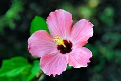 DSC_0001e ~ Hibiscus (BDC Photography) Tags: pipecreek texas usa hibiscus flower bwfpro72mmuvhaze1xfilter nikonafnikkor180mmf28difedlens nikon nikond200