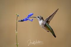 30/52 - Backyard Hummingbird (jonwhitaker74) Tags: hummingbird bird