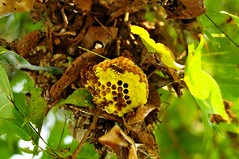 Beehive (mattlaiphotos) Tags: bee beehive honeycomb wildlife nature wasp