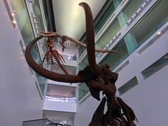 Before Us (Jan Nagalski) Tags: fossil skeleton mastadon whale basilosaurid reptile dinosaur prehistory museum museumofnaturalhistory museumofnaturalscience universityofmichigan uofm um goblue annarbor michigan jannagalski jannagal scence nature bones strikingdisplay atrium