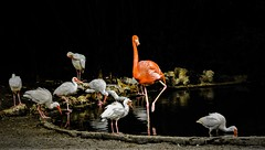 King... (Pedro1742) Tags: birds flamingos blackbackground orange