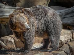 Big Bear (helenehoffman) Tags: omnivore brownbear scout wildlife grizzlybear nature ursus sandiegozoo carnivore conservationstatusleastconcern ursusarctos mammal ursusarctoshorribilis animal