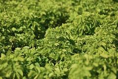 Pomme de terre (Département des Yvelines) Tags: légumes pommedeterre agriculture