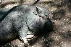 Hängebauchschwein (PictureBotanica) Tags: tiere säugetiere schweine haustiere nutztiere essehof