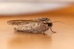 Combat d'une araignée contre un papillon (JR Guillaumin) Tags: macro insecte insect papillon moth