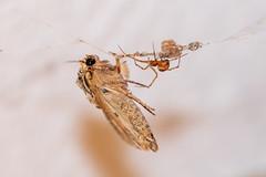 Combat d'une araignée contre un papillon (JR Guillaumin) Tags: macro insecte insect papillon moth spider araignée fight