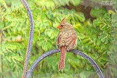 Young female Northern Cardinal (NancySmith133) Tags: northerncardinal backyardbirds centralfloridausa