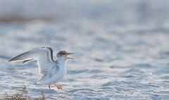 Early morning Juvenile Least Tern (NorthShoreTina) Tags: tern leasttern ternchick