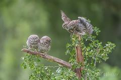 Little Owl (Athene noctua) (phil winter) Tags: littleowl athenenoctua fledglings hawthorn