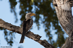 Southern Yellow-billed Hornbill (leendert3) Tags: leonmolenaar southafrica krugernationalpark wildlife wilderness wildanimal nature naturereserve naturalhabitat bird southernyellowbilledhornbill ngc npc coth coth5